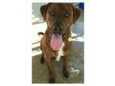 Adopt Troy a Brindle - with White Labrador Retriever / Boxer / Mixed dog in