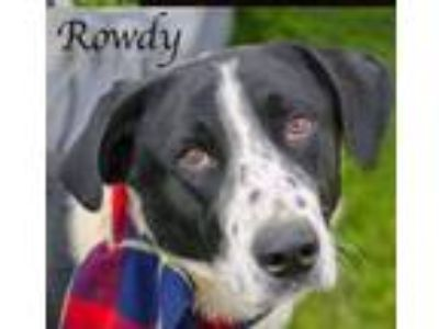 Adopt Rowdy a Border Collie, Labrador Retriever