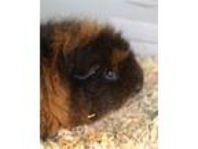 Adopt Maple a Guinea Pig, Teddy