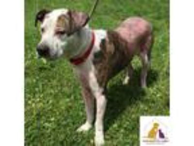 Adopt Jetta a Brindle - with White Boxer / Cattle Dog / Mixed dog in Eighty