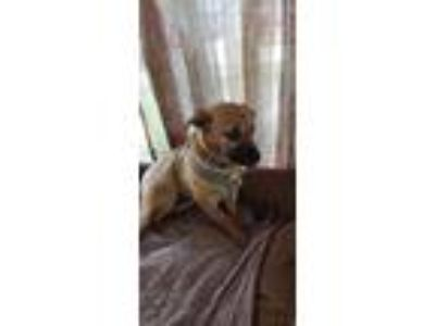 Adopt Kellie a Brindle - with White German Shepherd Dog / Mixed dog in