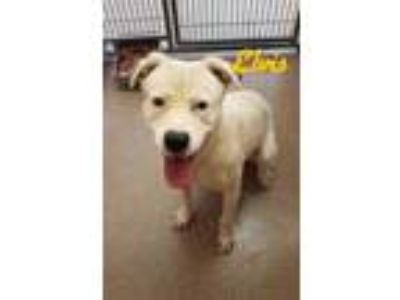 Adopt Elvis a White American Pit Bull Terrier / Mixed dog in Louisburg