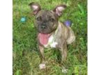 Adopt Gem a Boxer, Mixed Breed