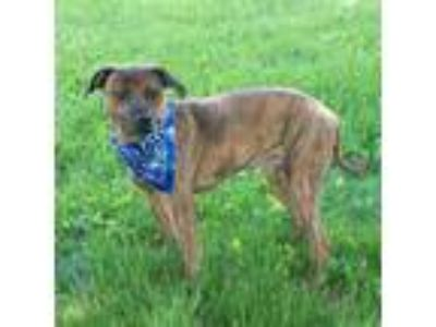 Adopt Charlie - Sponsored a Brindle - with White Boxer / Mixed dog in Troy