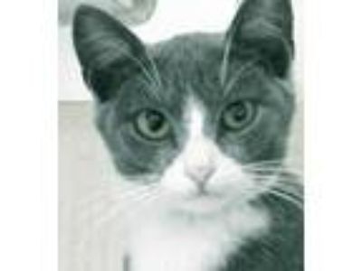 Adopt Teri a Gray or Blue Domestic Shorthair / Domestic Shorthair / Mixed cat in