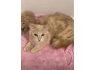 Adopt Butter a Cream or Ivory (Mostly) Domestic Longhair (long coat) cat in