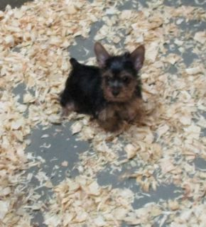 Yorkshire Terrier PUPPY FOR SALE ADN-98937 - Yorkshire Terrier Female Puppy