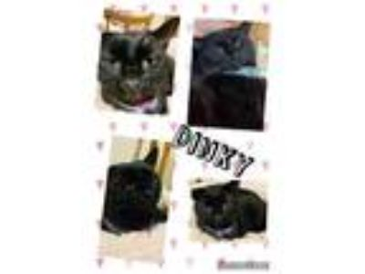 Adopt Dinky a Domestic Shorthair / Mixed (short coat) cat in Crystal Lake