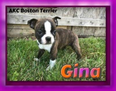 Gina Female AKC Boston Terrier