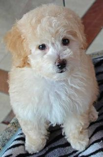Poodle (Toy) PUPPY FOR SALE ADN-105228 - Bouncing Toy Poodle Puppy Available for new Family