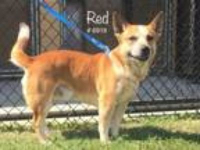 Adopt Red a Australian Cattle Dog / Blue Heeler, Corgi