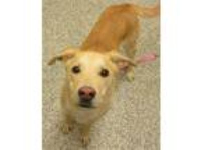 Adopt Gypsy a Labrador Retriever / Mixed dog in Golden, CO (25335922)