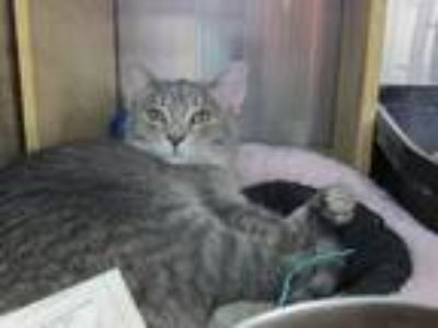 Adopt Lily a Gray, Blue or Silver Tabby Domestic Shorthair (short coat) cat in