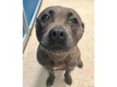 Adopt 41843451 a Pit Bull Terrier, Mixed Breed