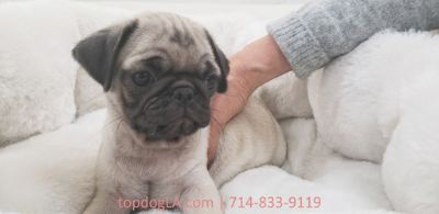 Pug PUPPY FOR SALE ADN-75785 - Pug Male Chunky