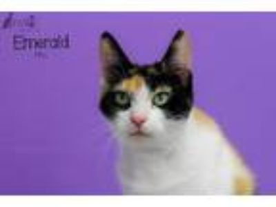 Adopt Emerald (Emmy) SPONSORED a Domestic Short Hair