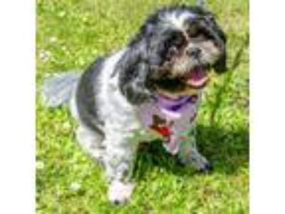 Adopt Isabella a Black Shih Tzu / Mixed dog in Salem, OR (18880818)