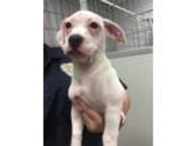Adopt Pinkie a White - with Tan, Yellow or Fawn Boxer / Basset Hound / Mixed dog