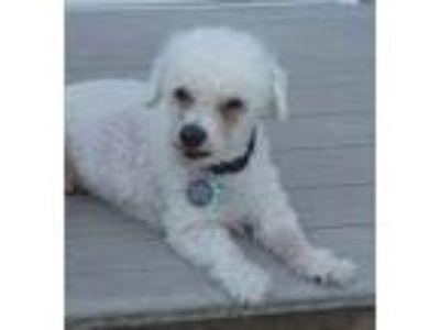 Adopt Luc a White Bichon Frise / Mixed dog in Newtown, PA (22725926)