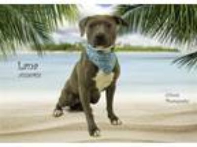 Adopt Dog a Terrier, Pit Bull Terrier