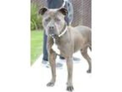Adopt Christian a Gray/Blue/Silver/Salt & Pepper American Pit Bull Terrier /