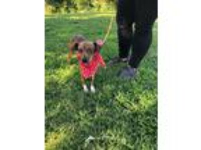 Adopt Chicken a Brindle - with White Feist / Whippet / Mixed dog in Southbury