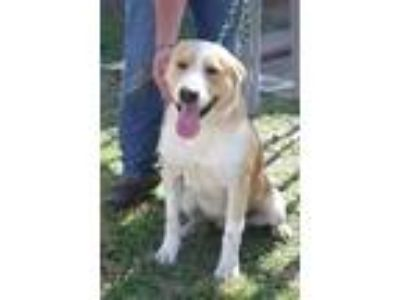 Adopt Laredo a Shepherd, Golden Retriever