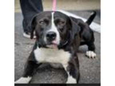 Adopt Sammie a Black - with White Labrador Retriever / Mixed dog in Minneapolis
