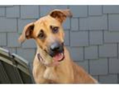 Adopt Becky a Red/Golden/Orange/Chestnut - with Black Black Mouth Cur / Mixed