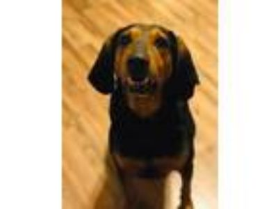 Adopt Brody a Black - with Tan, Yellow or Fawn Black and Tan Coonhound / Mixed