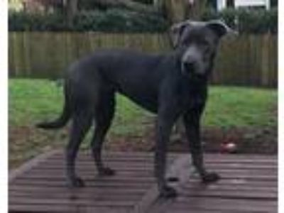 Adopt Luna a Gray/Blue/Silver/Salt & Pepper Labrador Retriever / Mixed dog in