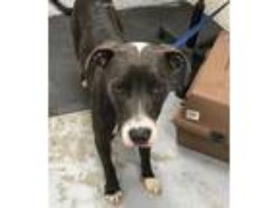 Adopt A321272 a Pit Bull Terrier