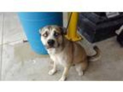 Adopt ELROY a Black Akita / Husky / Mixed dog in Fort Lauderdale, FL (25331411)