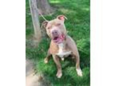 Adopt Hagrid a Tan/Yellow/Fawn American Pit Bull Terrier / Mixed dog in