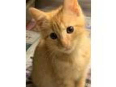 Adopt Sukamon a Orange or Red Tabby Domestic Shorthair (short coat) cat in