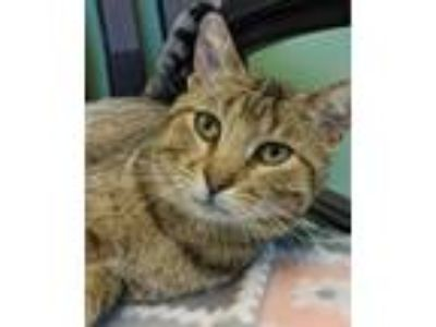 Adopt Connelly a Domestic Short Hair, Tiger