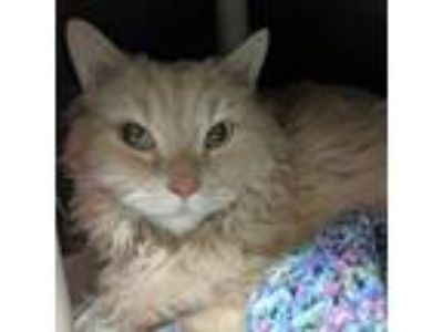 Adopt Barry a Domestic Long Hair