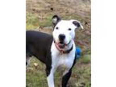 Adopt Liza a Black - with White Pit Bull Terrier / Mixed dog in Macon