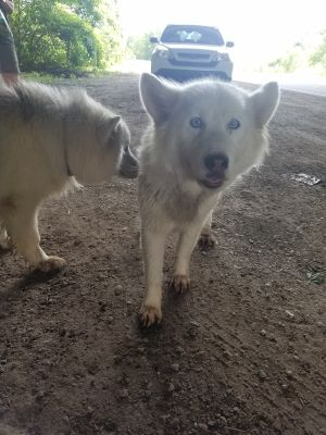 Lost Husky/Malamute puppies