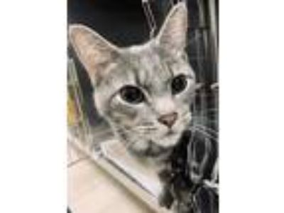 Adopt TEGRAY a Gray or Blue Domestic Shorthair / Domestic Shorthair / Mixed cat