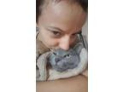 Adopt Pouches a Gray or Blue Domestic Shorthair / Mixed (short coat) cat in