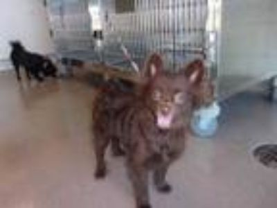 Adopt Bella a Brown/Chocolate Pomeranian / Mixed dog in Arlington, TX (25911276)