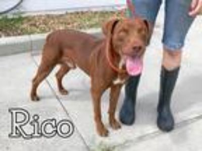 Adopt Rico a Red/Golden/Orange/Chestnut Labrador Retriever / Mixed Breed