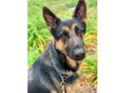 Adopt Bono a Black - with Tan, Yellow or Fawn German Shepherd Dog / Mixed dog in