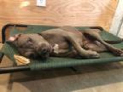 Adopt Roxy a Gray/Blue/Silver/Salt & Pepper American Pit Bull Terrier dog in