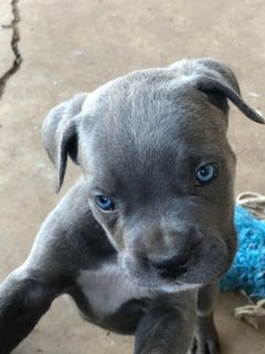 Cane Corso PUPPY FOR SALE ADN-96676 - 9 week old female cane corso