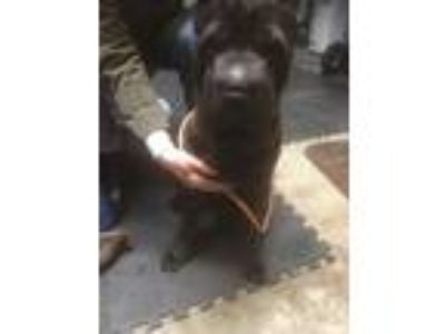Adopt Jenny a Black - with Brown, Red, Golden, Orange or Chestnut Shar Pei /