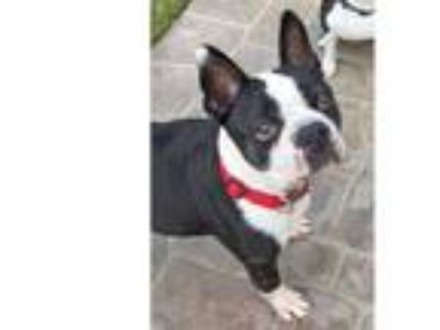 Adopt Archie a Boston Terrier