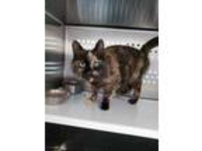 Adopt Tanzy a All Black Domestic Shorthair / Domestic Shorthair / Mixed cat in