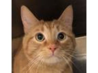 Adopt Simba a Orange or Red Domestic Shorthair / Mixed (short coat) cat in
